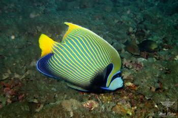 Emperor angelfish (Pacific Ocean Version)