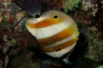 Orange banded coralfish